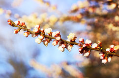 Blooming branch of the fruit tree Royalty Free Stock Image