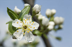 Blooming branch of fruit tree over blue sky background. Royalty Free Stock Images