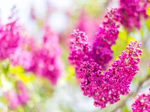 Blooming branch of lilac. Abstract floral background. Selective focus stock photo