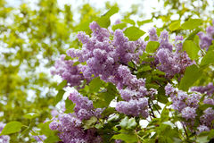 The blooming branch of lilac Stock Images