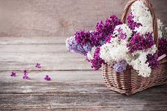 blooming branch of lilac Stock Photography