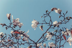 Blooming branch of Magnolia kobus Royalty Free Stock Photo