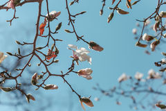 Blooming branch of Magnolia kobus Royalty Free Stock Photography