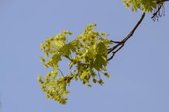 Blooming branch of maple tree Royalty Free Stock Photos