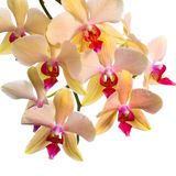 Blooming  branch of orange striped orchid, phalaenopsis is isola Royalty Free Stock Images