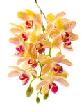 Blooming branch orange striped orchids Stock Photos