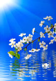 Blooming branch over water on a blue background Royalty Free Stock Image