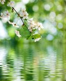 Blooming branch over the water Stock Photography