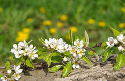 Blooming branch of pear tree Stock Photos