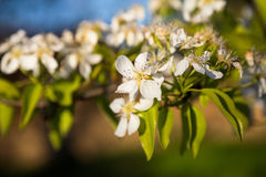 A blooming branch of a pear tree at sunset Stock Photography