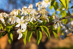 A blooming branch of a pear tree at sunset Royalty Free Stock Photography