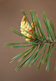 Blooming branch of pine Stock Images