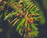 Blooming Branch of Pine Tree D. Captured at Somerset England, Macro Split Toning Shallow Depth of Field Nature Photography, Winter Feb 2018 Royalty Free Stock Image