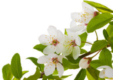 Blooming branch of plum tree Royalty Free Stock Photo