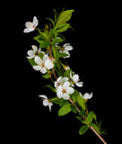 Blooming branch of plum tree Stock Images