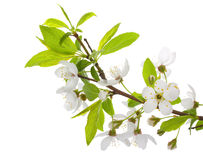 Blooming branch of plum tree Stock Photos