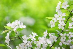 Blooming branch of plum tree Royalty Free Stock Photography