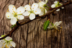Blooming branch of plum tree Stock Photography