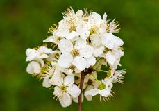 Blooming branch of plum tree Stock Image