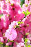 Blooming branch of Prunus Triloba Stock Photos