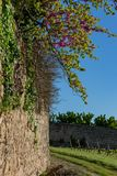 A blooming branch of red flowers on an old medieval french wall.Vineyards agriculture in spring. Blue sky. Art image. Toned image. royalty free stock image