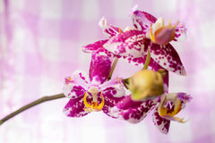 Blooming branch spotted purple orchid, phalaenopsis Stock Photos