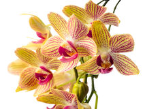 Blooming branch striped orchids closeup. Phalaenopsis is isolated on white background Stock Images