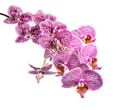 Blooming branch striped and spotted violet orchids. Phalaenopsis is isolated on white background Royalty Free Stock Photography