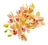 Blooming branch striped yellow and red orchid with drops, royalty free stock image