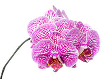 Blooming branch stripped deep purple  orchid Stock Photo