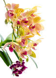 Blooming branch stripped orange orchid and black purple orchid Stock Image