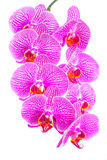 Blooming branch stripped violet orchid, phalaenopsis is isolated Stock Photography