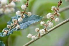 Close up of Tetrapanax papyriferus flowers stock photos