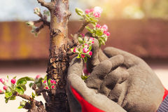Blooming branch of tree in spring Royalty Free Stock Photo