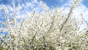 A blooming branch of tree in spring with light wind. beautiful white flowers. Branch of tree in bloom in the spring in. Sunshine garden stock footage