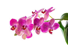 Blooming branch of violet orchid with leaves, phalaenopsis is is stock image