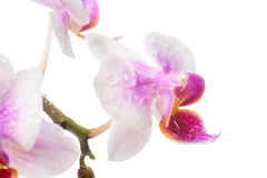 Blooming branch white and pink orchid with drops Stock Photo