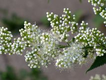 Blooming branch white spirea. Blooming twig of a Bush white spirea Stock Photo