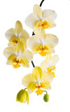 Blooming branch of yellow orchid, phalaenopsis is isolated on wh. Ite background Stock Photos