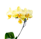 Blooming branch yellow orchid, phalaenopsis Stock Photo