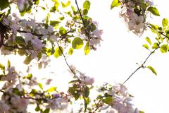 Blooming branches of the apple tree in the sunshine Stock Photos