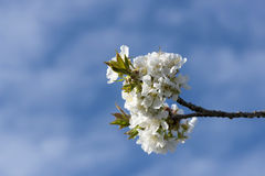 Blooming branches of cherry against the blue sky Royalty Free Stock Image