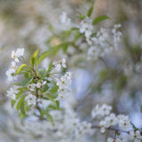 Blooming branches Stock Photos