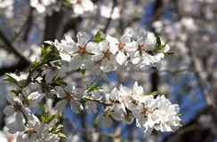 Blooming branches - RAW format  royalty free stock photo