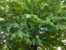 Blooming branches green young horse chestnut.  Royalty Free Stock Photography