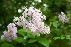 Blooming branches of lilac. On a spring day Stock Photos