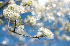 Blooming branches of plum tree in a spring garden Royalty Free Stock Photo
