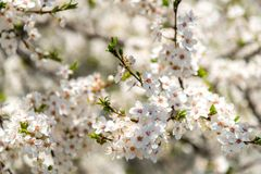 Blooming branches of plum tree in a spring garden Royalty Free Stock Photos