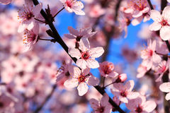 Blooming branches in Spring Royalty Free Stock Images