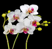 Blooming branches white and red orchid flower (phalaenopsis) wit Stock Image